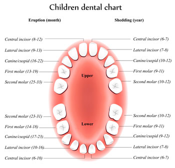 Tooth Eruption Chart for Children